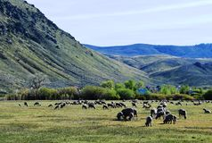Sheep in Pasture in Carson City, Nevada Royalty Free Stock Photo