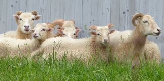 Sheep, Pasture, Cow Goat Family, Fauna stock image