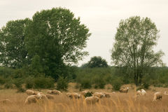 Sheep in the pasture with dry grass Royalty Free Stock Image