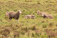 Sheep in pasture early morning. Flock sheep early morning pasture Stock Photo