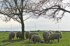 Sheep on a pasture Stock Images