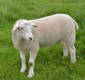 Sheep in a pasture Royalty Free Stock Photo