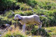 Sheep in the pasture farm Royalty Free Stock Images