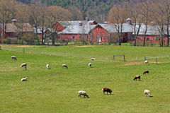 Sheep in pasture and farm Springtime Royalty Free Stock Images