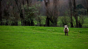A sheep in the pasture, farming Royalty Free Stock Image