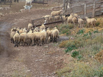 Sheep in pasture Royalty Free Stock Photo