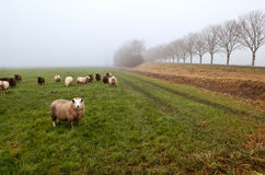 Sheep on pasture in fog Stock Photography