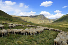 Sheep on the pasture. Sheep go on the mountain pasture Royalty Free Stock Photos