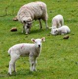 Sheep, Pasture, Grassland, Grazing Royalty Free Stock Photos