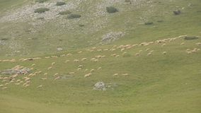 Sheep on pasture. Sheep grazing on pasture on mountain stock video