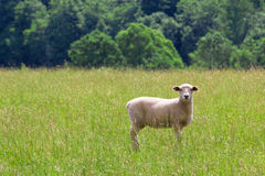 Sheep on pasture. Sheep grazing on summer meadow Stock Photos