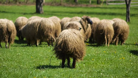 Sheep on a pasture Royalty Free Stock Photo