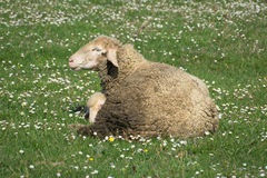 A sheep in a pasture of green grass Stock Image