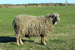 Sheep on the pasture Stock Image