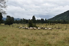 Sheep in the Pasture Royalty Free Stock Photos