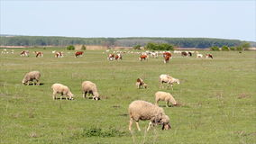 Sheep on pasture Royalty Free Stock Photos