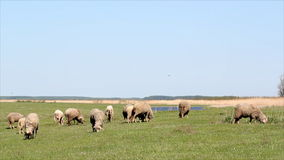 Sheep on pasture Royalty Free Stock Images