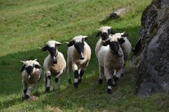 Sheep, Pasture, Herd, Cow Goat Family royalty free stock images