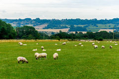 Sheep on the pasture. An idyllic landscape from the countryside Royalty Free Stock Images