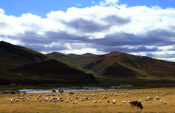 Sheep and pasture. Sheep on pasture in Inner Mongolia of china Stock Photo