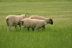 Sheep on pasture, Ireland Royalty Free Stock Image