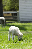 Sheep in Pasture Royalty Free Stock Photography