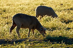 Sheep on pasture Stock Images