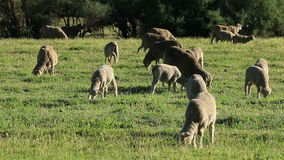 Sheep on pasture stock video