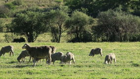 Sheep on pasture stock video footage