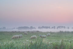 Sheep on pasture in morning fog Royalty Free Stock Images