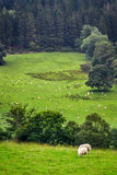 Sheep on pasture in mountain royalty free stock images