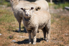 Sheep at a pasture in New Zealand Stock Image