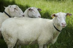 Sheep on pasture. Sheep on organic farm with green meadow on a background