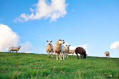 Sheep on pasture over blue sky Stock Image