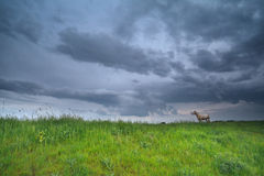 Sheep on pasture over stormy sky Stock Photo