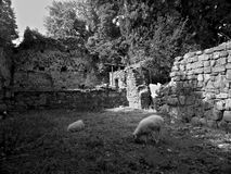 Sheep pasturing in the ruins of an old church in Georgia stock photography