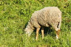 Sheep on pasture Stock Photo