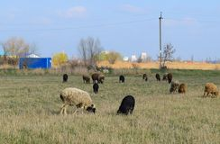 Sheep in the pasture royalty free stock photography