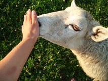 Sheep on the pasture. Sheep is sniffs a hand on the pasture Royalty Free Stock Images