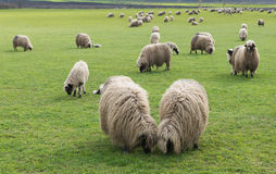 Sheep on pasture Royalty Free Stock Photography