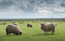 Sheep on pasture Stock Photos