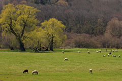 Sheep in pasture Springtime Stock Image