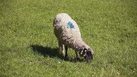 Sheep on pasture at summer stock video footage