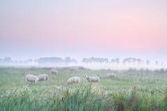 Sheep on pasture at sunrise Royalty Free Stock Photography