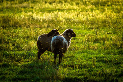 Sheep on pasture at sunset. Stock Images