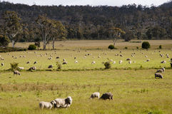 Sheep pasture - Tasmania Stock Images
