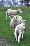 Sheep in a pasture. Two sheep and a lamb in a pasture stock photography