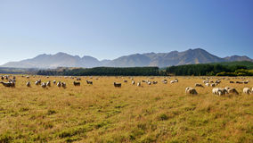 Sheep in the pasture under the mountains Stock Photo