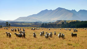 Sheep in the pasture under the mountains Royalty Free Stock Photos