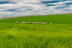 Sheep on pasture. A view of a green pasture with a flock of sheep grazing on it Stock Photography